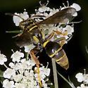 Wasp 2225 - Saygorytes phaleratus - female