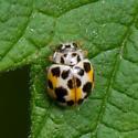 Twenty-Spotted Lady Beetle? - Psyllobora vigintimaculata