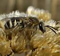 Mining Bee? - Lasioglossum sisymbrii