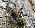 Lichen Orb Weaver? - Araneus bicentenarius