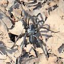 Black Purseweb spider. Sphodros niger ? - Antrodiaetus unicolor