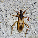 bug - Reduvius