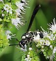 Pseudodynerus quadrisectus