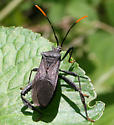 Bug ID Request - Acanthocephala terminalis
