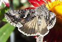 Butterfly ID - Autographa californica
