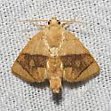 Abbreviated Button Slug - Hodges#4654 - Tortricidia flexuosa