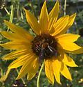 Dieunomia heteropoda - female