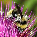 Bumblebee Mt. Rainier - Bombus