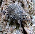 Parabrochymena arborea - nymph - Brochymena arborea