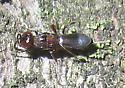 Chalcid - female