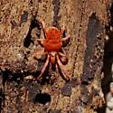 Bright Orange Spider on Wood (or is it a tick?)