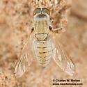 Fly - Aphoebantus rattus