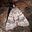 8821 catocala semirelicta  - Catocala semirelicta