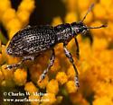 Weevil - Ericydeus lautus