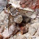 Bee Fly - Paravilla cinerea
