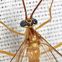Ichneumon Wasp - Enicospilus purgatus