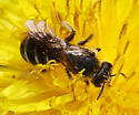 Halictus parellelus? - Halictus rubicundus - female