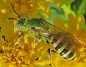 Agapostemon virescens? - 2 - Agapostemon