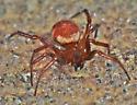 Cobweb Spider - Asagena fulva - female