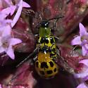Mating Beetles - Diabrotica undecimpunctata - male - female