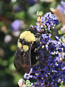 bumble bee - Bombus californicus