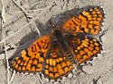 Is this a Northern Checkerspot?