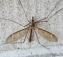 Tipula possibly Triplicitipula subgenus - male