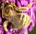 Long-horned bee - Melissodes - male