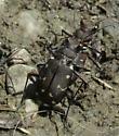 carabid 2 - Cicindela duodecimguttata - male - female