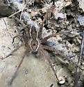 Banded Fishing Spider? - Dolomedes vittatus - male