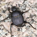 beetle - Canthon imitator