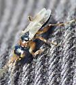Silver Star Mountain Wasp 2