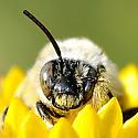 Sleeping bee in gumweed  - Diadasia enavata