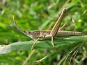 Toothpick grasshopper nymph - Pseudopomala brachyptera