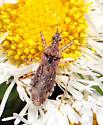 Bug on fleabane
