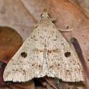 Litter Moth - Renia salusalis - female