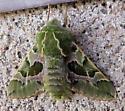 Green and Lavender moth - Proserpinus lucidus