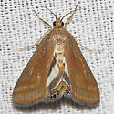 Floating-heart Waterlily Moth - Hodges#4763 - Parapoynx seminealis