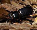 Passalidae - Odontotaenius disjunctus