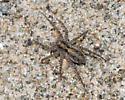 Wolf spider? - Pardosa