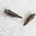 Planthoppers - Pintalia vibex - male - female