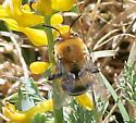 Bee - Anthophora fedorica - male