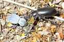 Desert Stink Beetle - Eleodes armatus