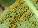 Aphids? - Aphis nerii