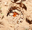 - - Bolbocerastes imperialis - female