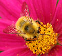 Yellow Bumble Bee - Bombus