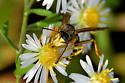 Wasp? - Polistes fuscatus