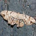 Moth 2 - Callizzia amorata
