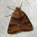 Noctuid? - Caenurgina crassiuscula