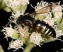Apoid Wasp - Bicyrtes quadrifasciatus